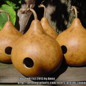 Location: RavenCroft CottageDate: 2011-06-27 Finished birdhouse gourds, all cleaned & drilled for future inhab