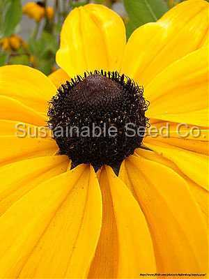 Photo of Black Eyed Susans (Rudbeckia) uploaded by vic