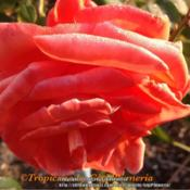 Location: Tampa, FloridaDate: Winter 2012Beautiful blooms, reliable bloomer and very thorny.