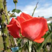 Location: Tampa, FloridaDate: Spring 2013Prominent ugly thorns but beautiful blooms.