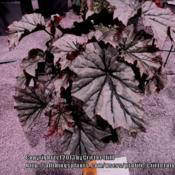Location: Philadelphia Flower ShowDate: 2013-03-13Leaves were a good 8 inches across...  not sure why it only got a