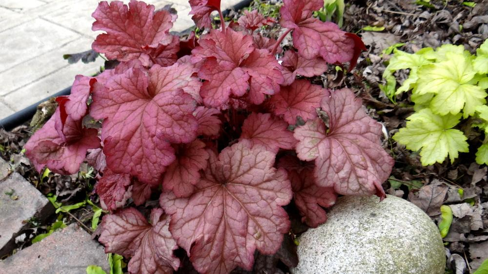 Photo of Coral Bells (Heuchera 'Berry Smoothie') uploaded by Tepelus