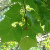 Location: zone 8 Lake City, Fl.Date: 2013-04-13Seed pod hanging from the tree