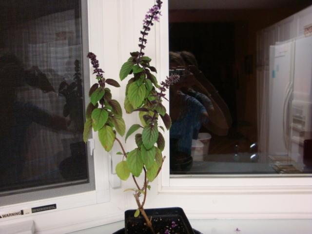 Photo of African Blue Basil (Ocimum 'African Blue') uploaded by flaflwrgrl