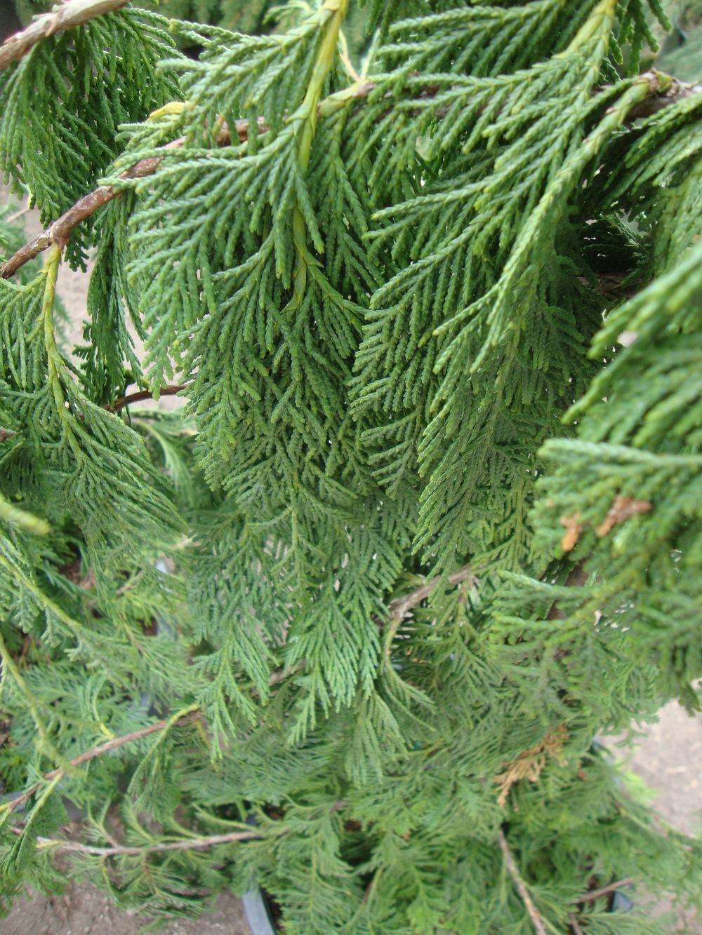 Photo of Weeping Alaska Cedar (Xanthocyparis nootkatensis 'Pendula') uploaded by Paul2032
