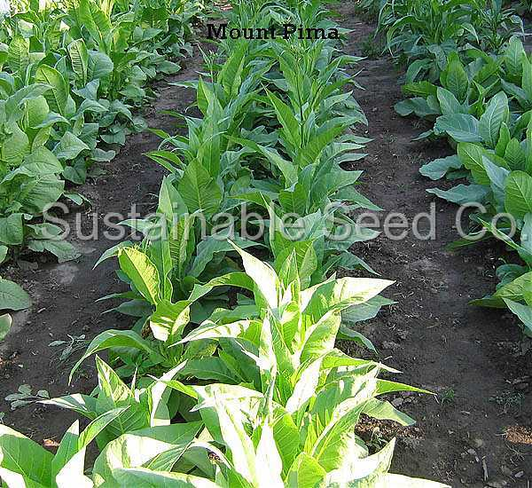 Photo of the leaves of Tobacco (Nicotiana tabacum 'Mount
