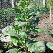 Photo of the bloom of Wild Tobacco (Nicotiana rustica