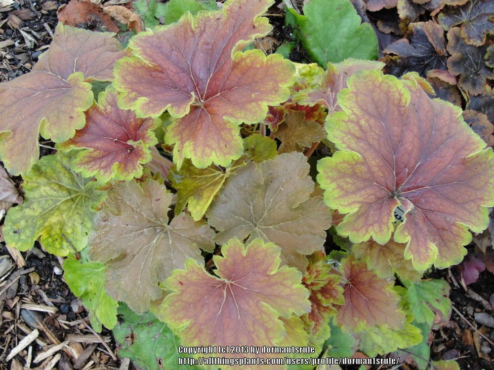 Photo of Coral Bells (Heuchera 'Delta Dawn') uploaded by dormantsrule