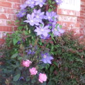 Location: Frisco TxDate: 2013-04-12Clematis 'Ramona' w/ Knockout Rose in foreground