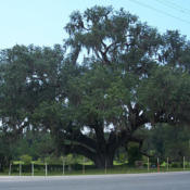 Location: Historic oak in Volusia, Florida, on the St. Johns River.Date: August 2007.credit: Ebyabe.