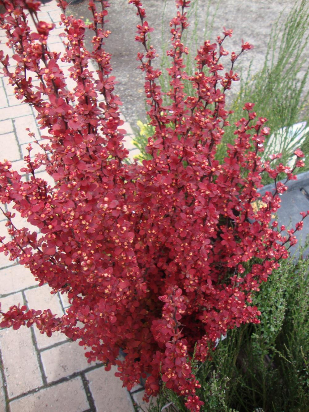 Photo Of The Entire Plant Of Japanese Barberry Berberis