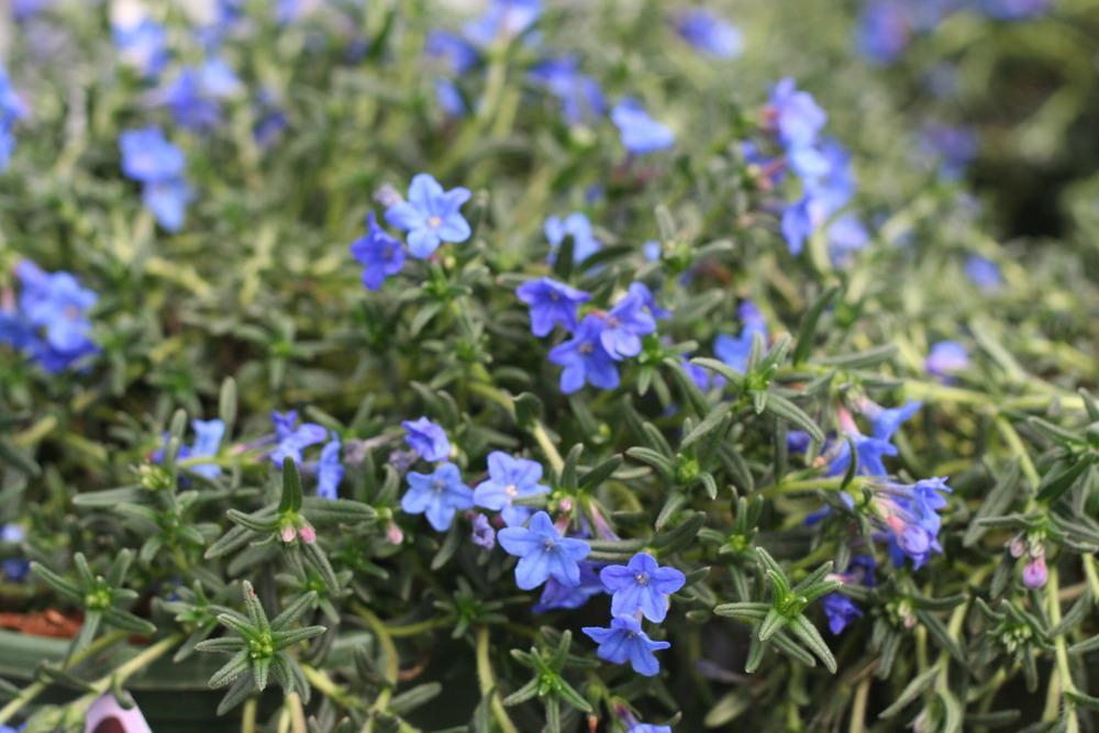 Photo of the entire plant of Lithodora (Glandora prostrata \'Grace ...