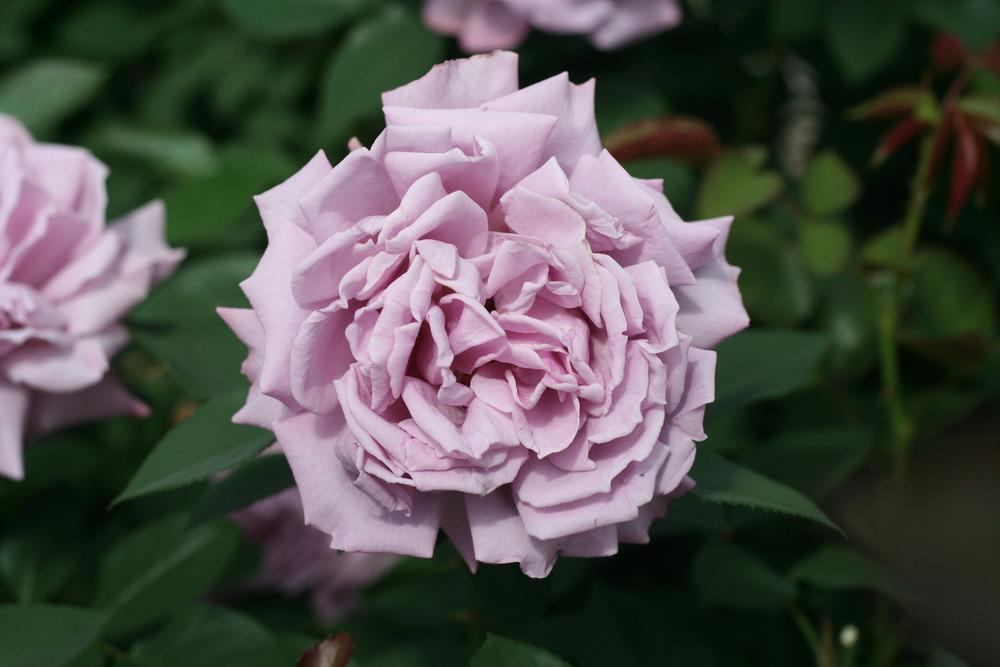 Photo of Rose (Rosa 'Love Song 2011') uploaded by Skiekitty