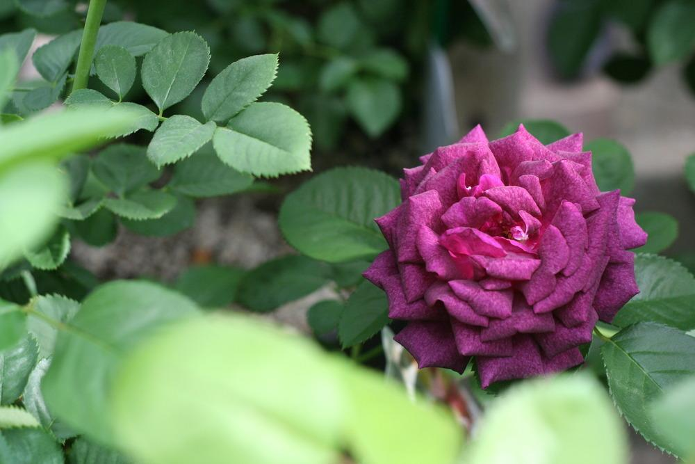 Photo of the bloom of Rose (Rosa \'Twilight Zone\') posted by ...