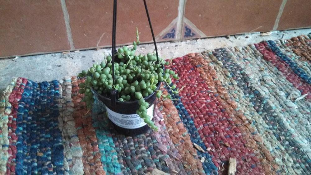 Photo of String of Pearls (Curio rowleyanus) uploaded by a2b1c3