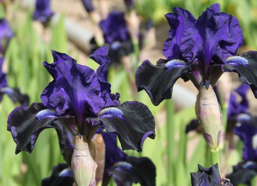 Photo of Intermediate Bearded Iris (Iris 'Star in the Night') uploaded by KentPfeiffer