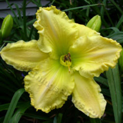 Thumb of 2013-04-22/daylily/69d695