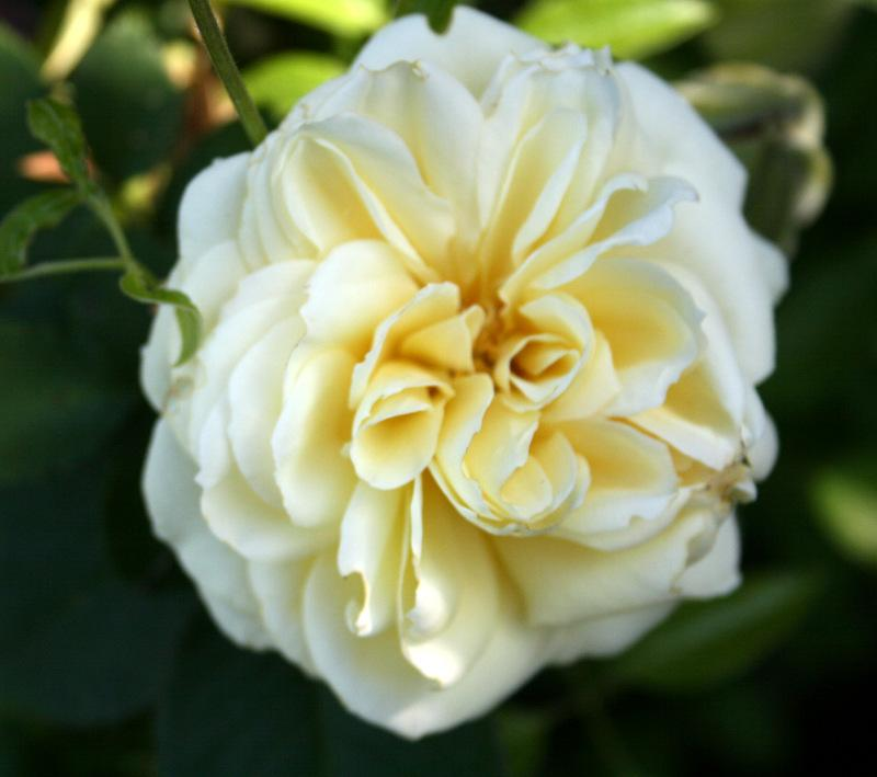 Photo of Rose (Rosa 'Zeus') uploaded by Calif_Sue