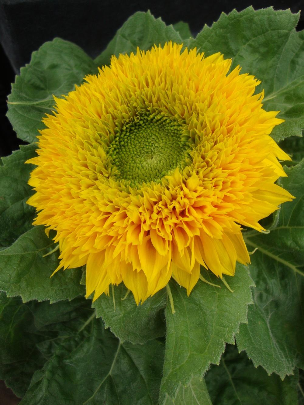 Photo of Sunflower (Helianthus annuus 'Teddy Bear') uploaded by Paul2032