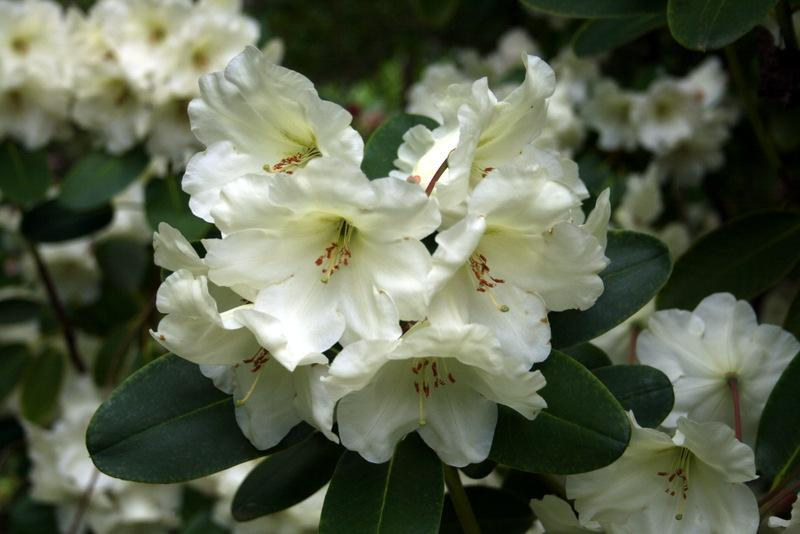 Photo of Rhododendron 'Idealist' uploaded by Calif_Sue