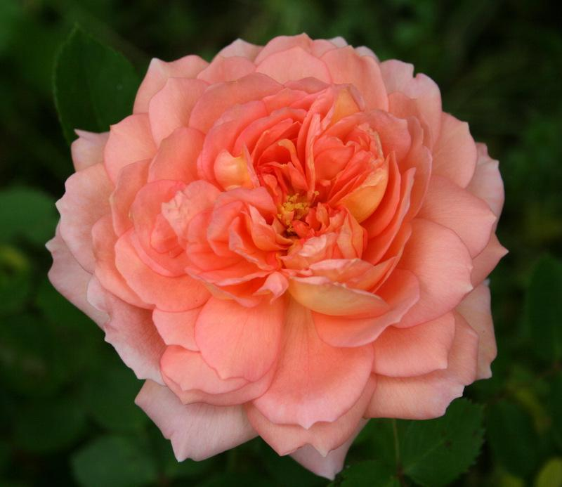 Photo of Rose (Rosa 'Carding Mill') uploaded by Calif_Sue