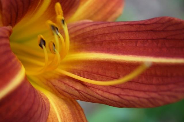 Photo of Daylilies (Hemerocallis) uploaded by gingin