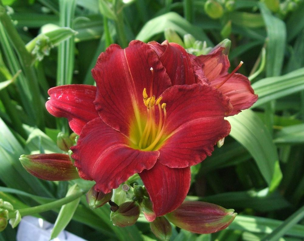 Photo of Daylily (Hemerocallis 'Clyde A. Reese') uploaded by spunky1