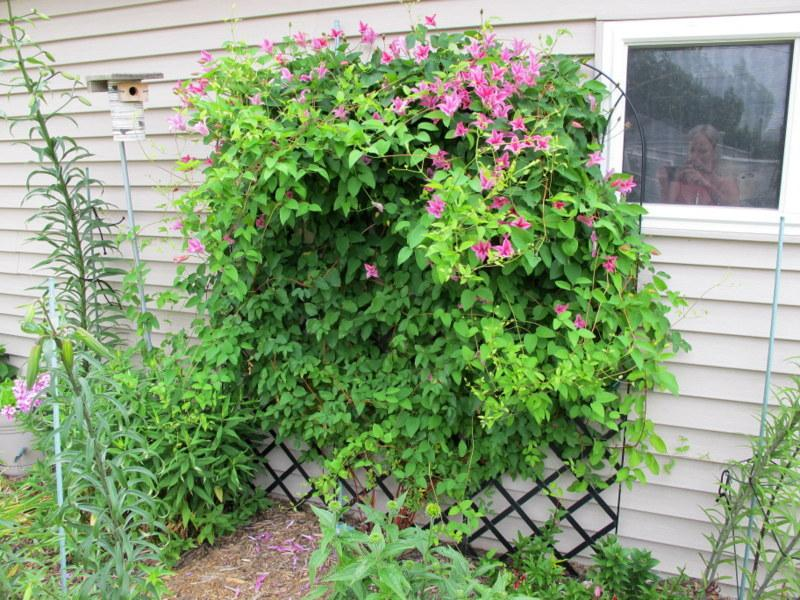 how to take care of clematis