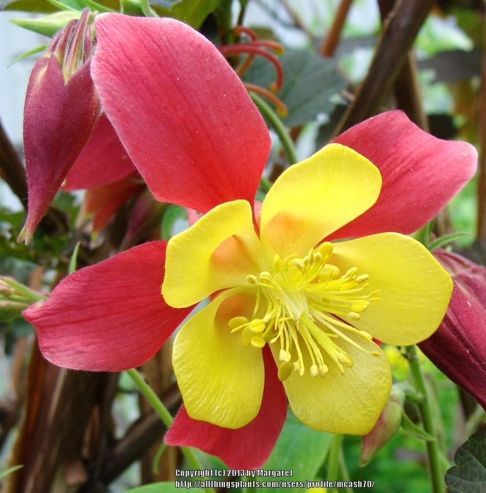 Photo of Columbines (Aquilegia) uploaded by mcash70