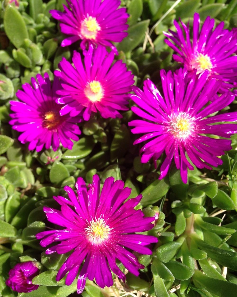 Photo of Ice Plant (Delosperma ashtonii 'Blut') uploaded by clintbrown