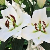 Photo courtesy of B&D Lilies, Used with Permission
