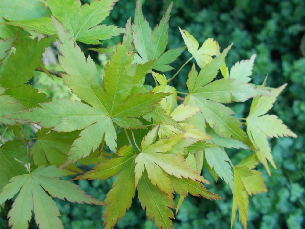 Photo Of The Leaves Of Japanese Maple Acer Palmatum Red Wood
