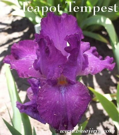 Photo of Border Bearded Iris (Iris 'Teapot Tempest') uploaded by Calif_Sue