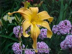 Thumb of 2013-05-01/daylily/fdf8ca