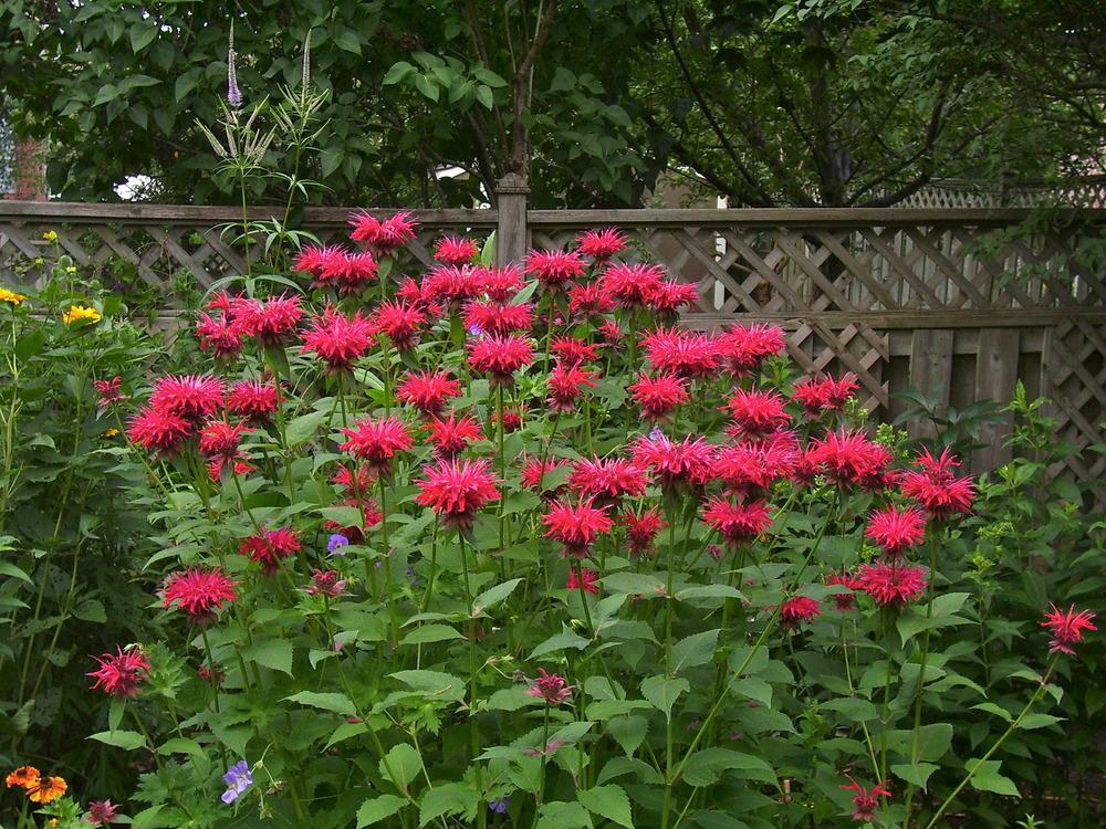 Photo of Bee Balm (Monarda didyma 'Gardenview Scarlet') uploaded by SunnyBorders