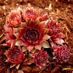 Sempervivum 'Red Robin'  by Perennial Obsessions Nursery