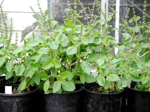 Photo of Holy Basil (Ocimum tenuiflorum) uploaded by vic