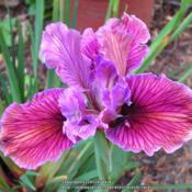 Location: In my Northern California gardenDate: 2007-04-04Unidentified Pacific Coast Hybrid Iris