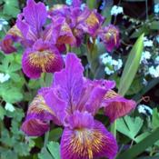Location: In my Northern California gardenDate: 2010-04-13Unidentified Pacific Coast Hybrid Iris