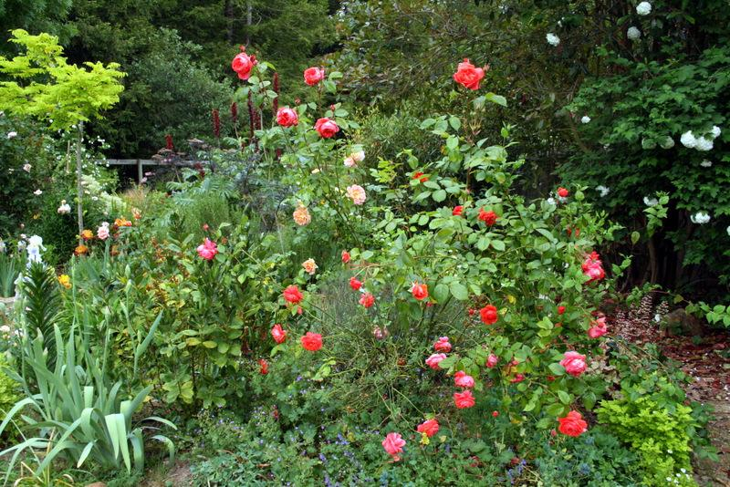 Photo of the entire plant of Rose (Rosa \'Summer Song\') posted by ...