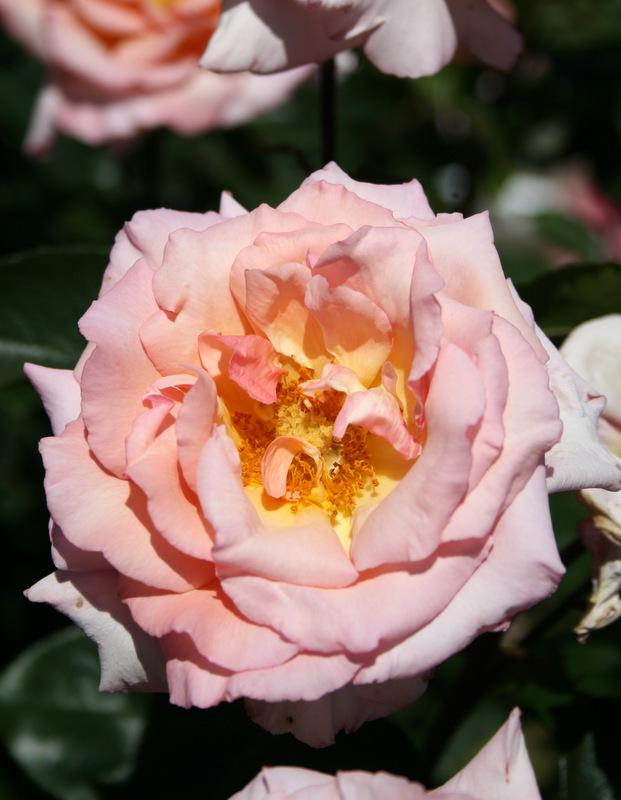 Photo of Rose (Rosa 'Compassion') uploaded by Calif_Sue