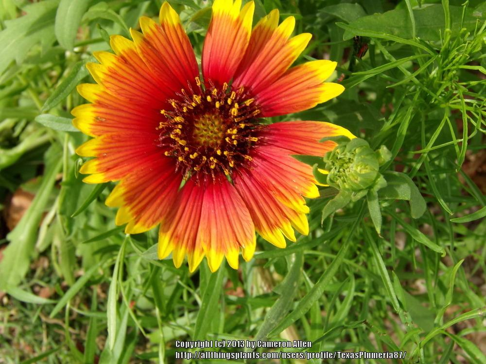 Photo of Blanket Flower (Gaillardia pulchella) uploaded by TexasPlumeria87