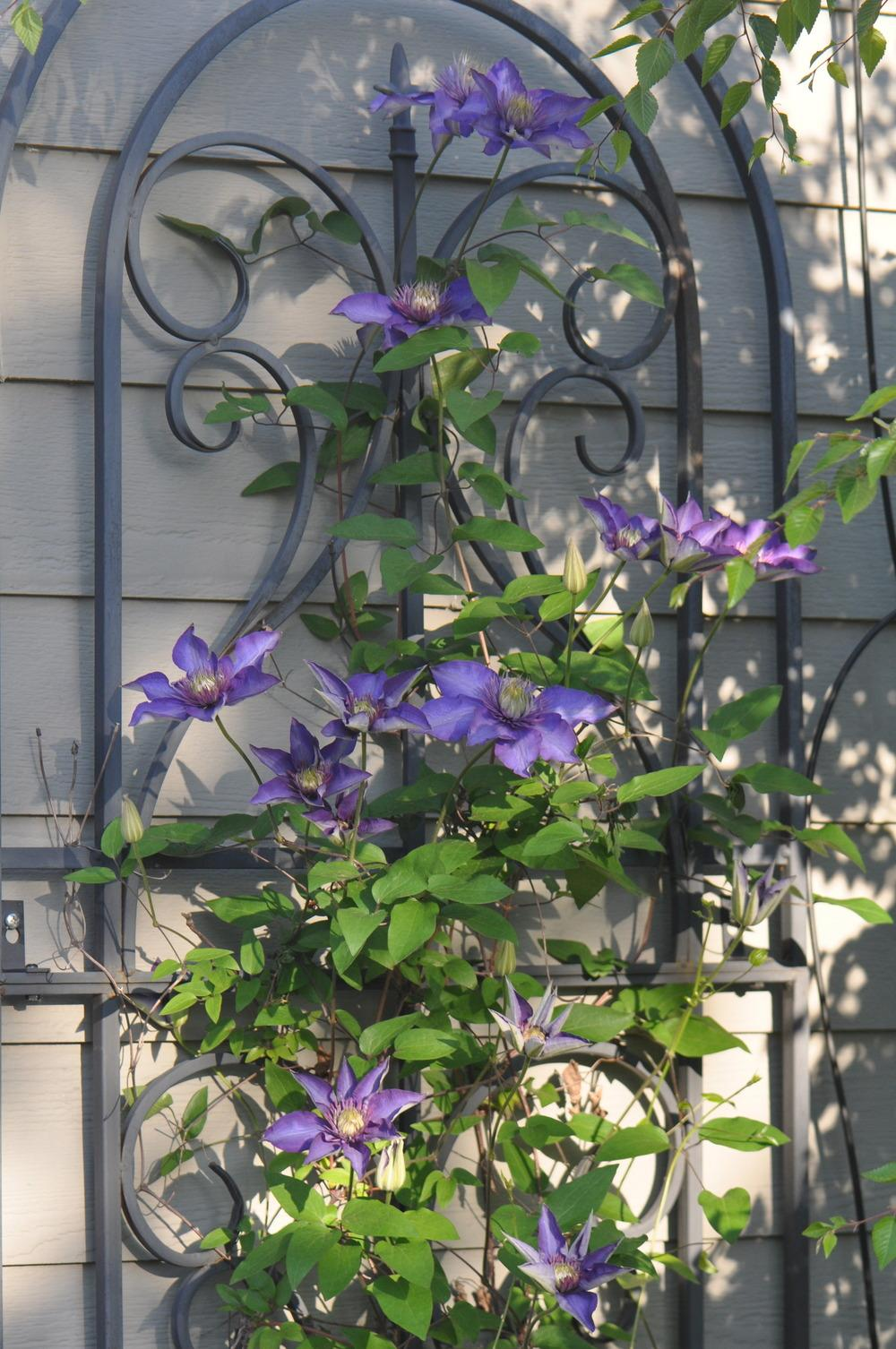 photo of the entire plant of clematis 39 multi blue 39 posted by kosk0025. Black Bedroom Furniture Sets. Home Design Ideas