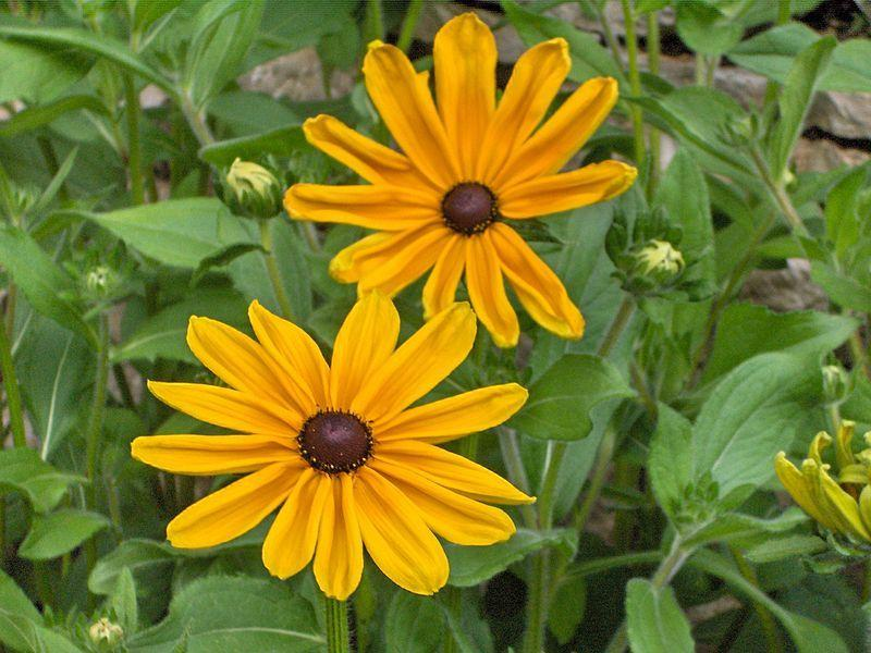Photo of Black-Eyed Susan (Rudbeckia hirta 'Indian Summer') uploaded by robertduval14