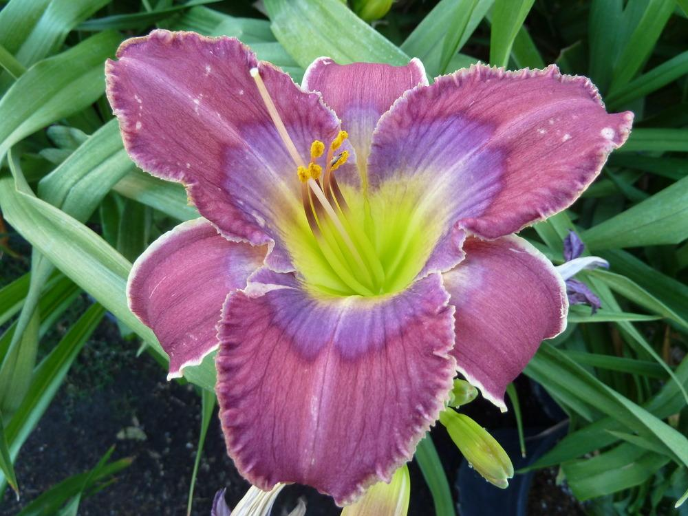 Photo of Daylily (Hemerocallis 'Doctor Who') uploaded by lyle627