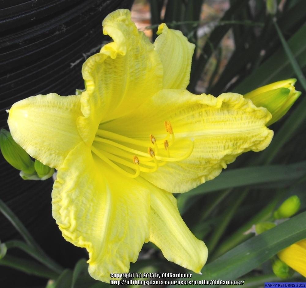 Photo of Daylily (Hemerocallis 'Happy Returns') uploaded by OldGardener
