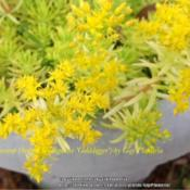 Location: Tampa, FloridaDate: March 2013Gorgeous tiny yellow cluster blooms.