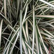 Location: WoodlandDate: SpringCarex oshimensis blade color and structure