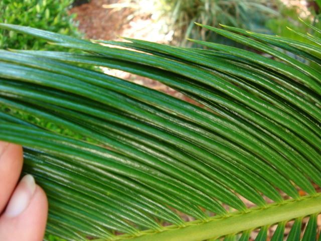 Photo of Sago Palm (Cycas revoluta) uploaded by flaflwrgrl
