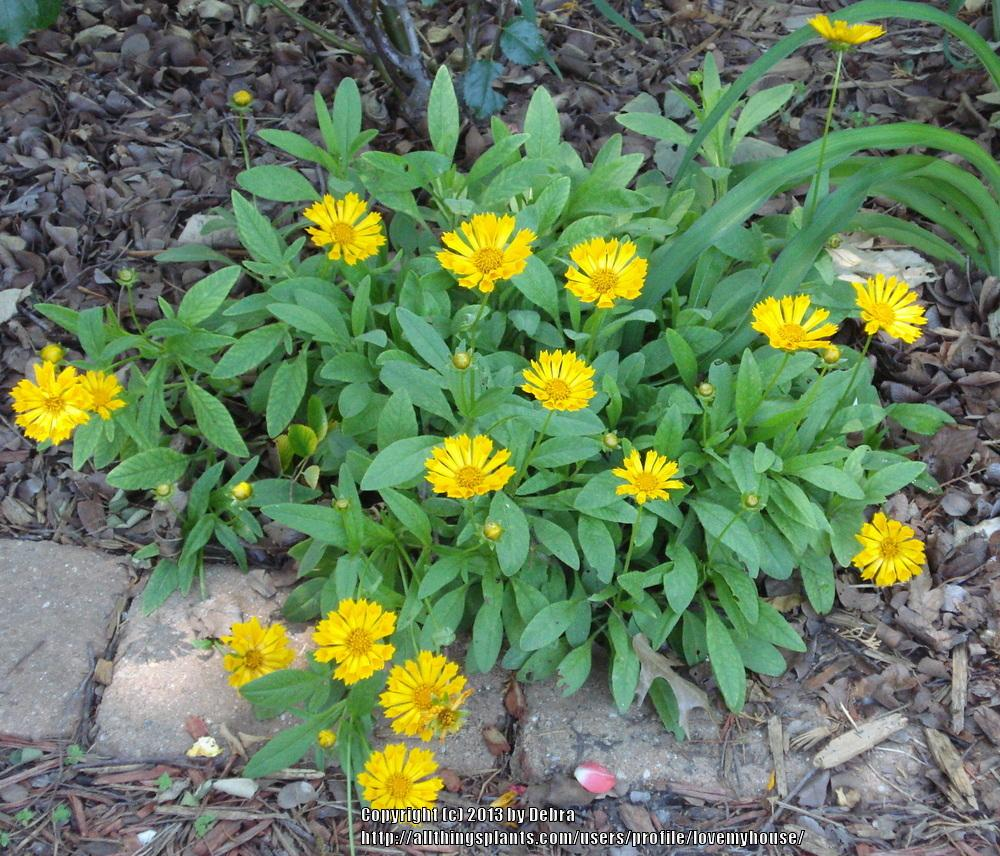 Photo of Tickseed (Coreopsis 'Jethro Tull') uploaded by lovemyhouse
